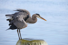 Great Blue Heron Perched on a Water Outflow Pipe Royalty Free Stock Image