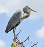 Great Blue Heron Perching Stock Photo