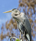 Great Blue Heron Perching Royalty Free Stock Photography