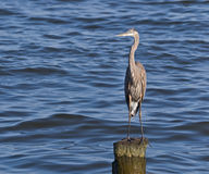 Great Blue Heron on Pile. Great Blue Heron (Herodias ardea) standing on a deteriorated piling in Chesapeake Bay, at North Beach, Maryland USA royalty free stock photos