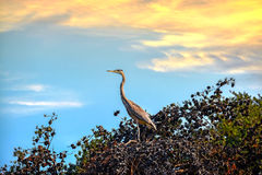 Great Blue Heron in a Pine Tree at Sunset Royalty Free Stock Photo