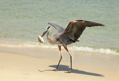 Great Blue Heron with Pinfish on the Beach Stock Photo