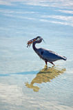 Great Blue heron with Pompano Fish Stock Image