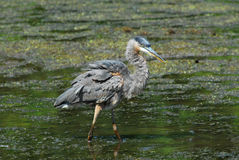 Great Blue Heron in pond Stock Photo