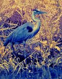 Great blue heron on pond shore Royalty Free Stock Image