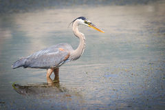 Great Blue Heron in pond water. A Great blue heron standing in shallow pond water Royalty Free Stock Photos