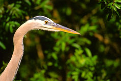 Great Blue Heron Portrait Royalty Free Stock Photos