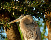Great Blue heron Portrait Stock Image