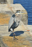Great Blue Heron Portrait. A great blue heron stands on a concrete piling in southern Florida royalty free stock photography