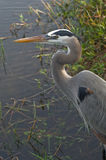 Great Blue Heron Portrait Royalty Free Stock Photography