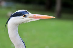 Great Blue Heron portrait against blurred background Stock Photography