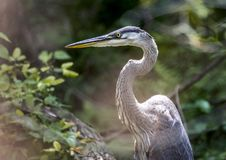 Great Blue Heron portrait, Walton County, Georgia USA. Juvenile plumage Great Blue Heron in willow pond thicket in Monroe, GA. The great blue heron Ardea stock photos