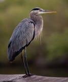Great Blue Heron posing on railing royalty free stock photo