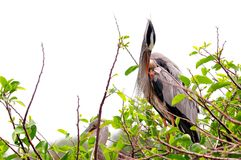 Great Blue Heron preening feathers, Florida Royalty Free Stock Photos
