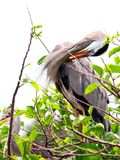 Great Blue Heron preening in nest in South Florida Royalty Free Stock Photo