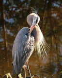 Great blue heron preening royalty free stock image