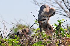 Great blue heron preening and two chicks in nest Royalty Free Stock Image