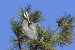 Great blue heron preens itself. stock image
