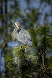 Great blue Heron preens itself. Stock Photography