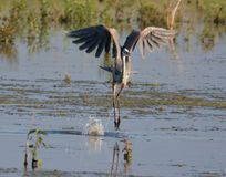 Great Blue Heron preforming Ballet. This Great Blue Heron was like it was dancing a ballet on the water at Goose Pond FWA in south west Indiana. For a big bird stock images