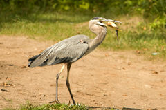A Great Blue Heron With Prey. A Great Blue Heron with a fish that it has caught Stock Images