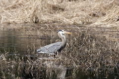 Heron swallows fish. Stock Photography