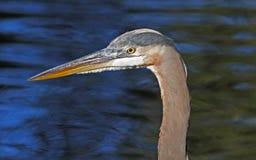Free Great Blue Heron Profile Royalty Free Stock Photo - 35068375