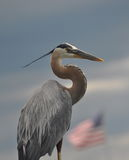 Great Blue Heron Stock Photos