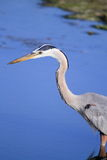 Great Blue Heron Profile Royalty Free Stock Photos