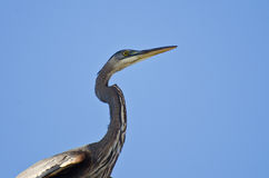 Great Blue Heron Profile Stock Photos