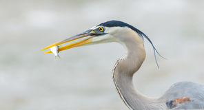 Great Blue Heron - Profile With Fish - Up Close Stock Photography
