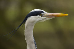 Great Blue Heron - profile head shot Royalty Free Stock Images