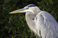 Great Blue Heron. Profile in a mangrove stock images