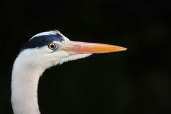 Great Blue Heron profile portrait Stock Image