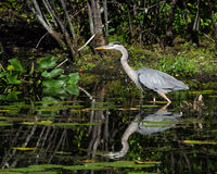 Great blue heron in profile Stock Image