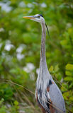 Great Blue Heron Profile Standing Royalty Free Stock Photos