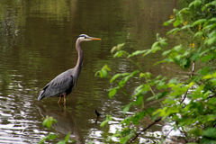 Great Blue Heron Profile Stock Image