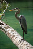 Great Blue Heron Quiet solitude Royalty Free Stock Photos