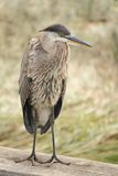 Great Blue Heron on Railing Stock Photos