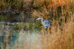Great Blue Heron in the Reeds Royalty Free Stock Images