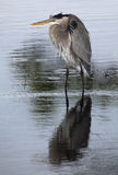Great Blue Heron Reflected in a Lake as it Fishes in the Rain Royalty Free Stock Image
