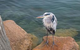 Great Blue Heron reflecting while perched on rock in the early morning in Morro Bay on the central coast of California USA. Great Blue Heron reflecting while royalty free stock photo