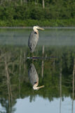 Great Blue Heron with reflection Stock Images