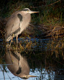 Great Blue Heron Reflection. A GBH takes in the morning sunlight on a cold winters day Royalty Free Stock Photo