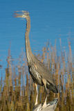 Great Blue Heron Reflection. In the marsh stock photos