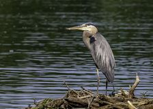 A great blue heron relaxing by the lake. A great blue heron, A. herodias, standing by the lake possible looking for his next meal royalty free stock image