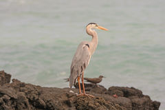 Great Blue Heron on a Remote Island Stock Photography