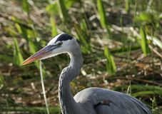 A Great Blue Heron royalty free stock image
