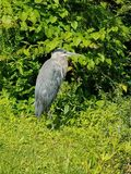 Great Blue Heron Resting stock photography