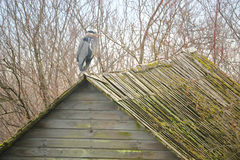 Great Blue Heron Resting on Building Stock Photo
